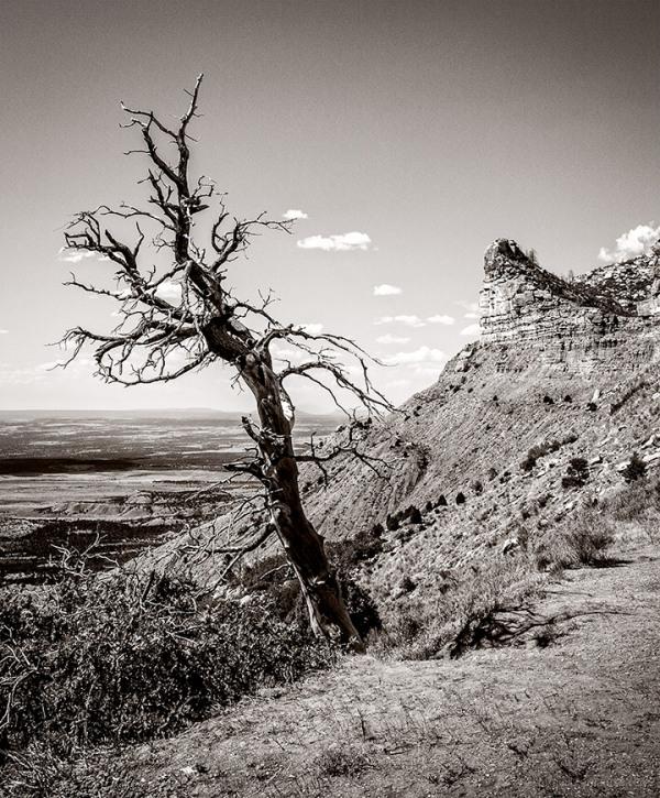 Mesa Verde Tree