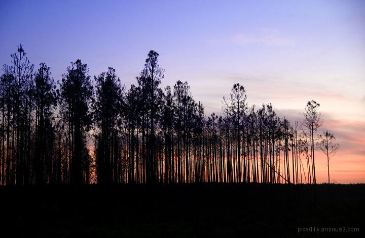 Burnt Trees at Dawn