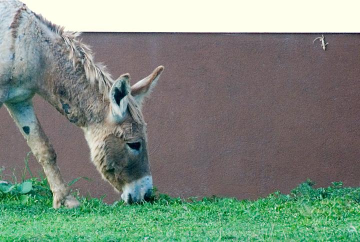 Anegada Donkey