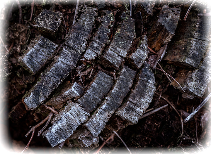 Ancient Tree Rings