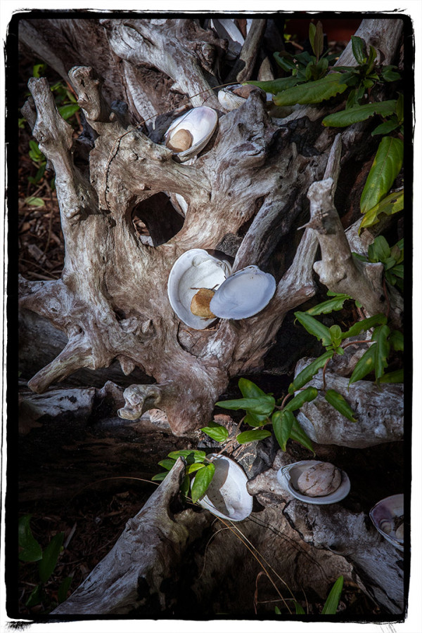 Shells on Driftwood