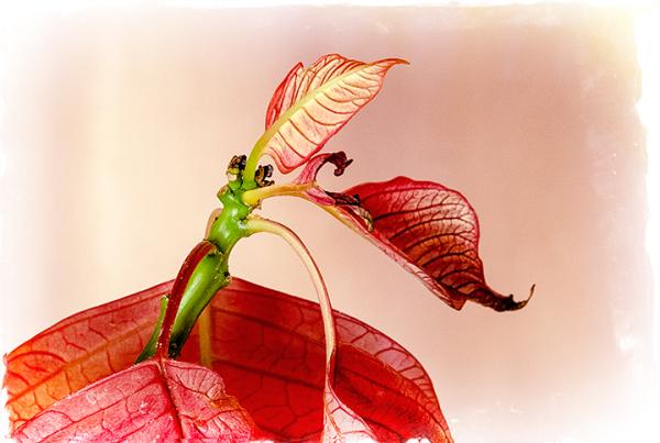 Poinsettia Waning
