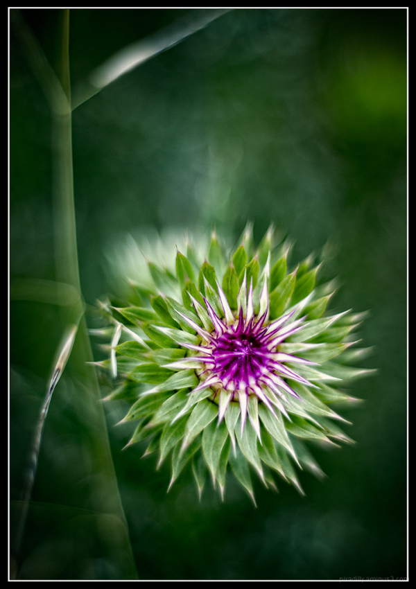 Thistle and Grass