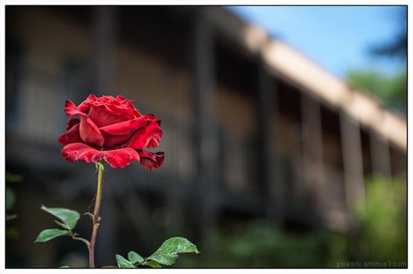 Courtyard Rose