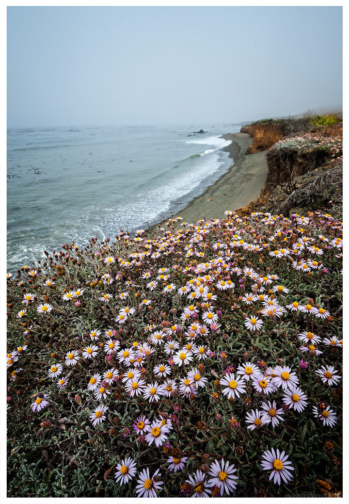 Asters by the Sea