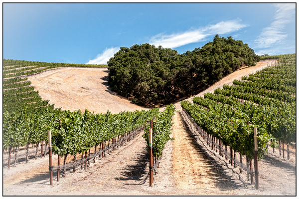 California Landscapes:  Vineyard