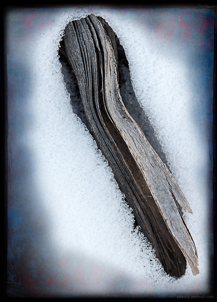 Sage Root in Snow
