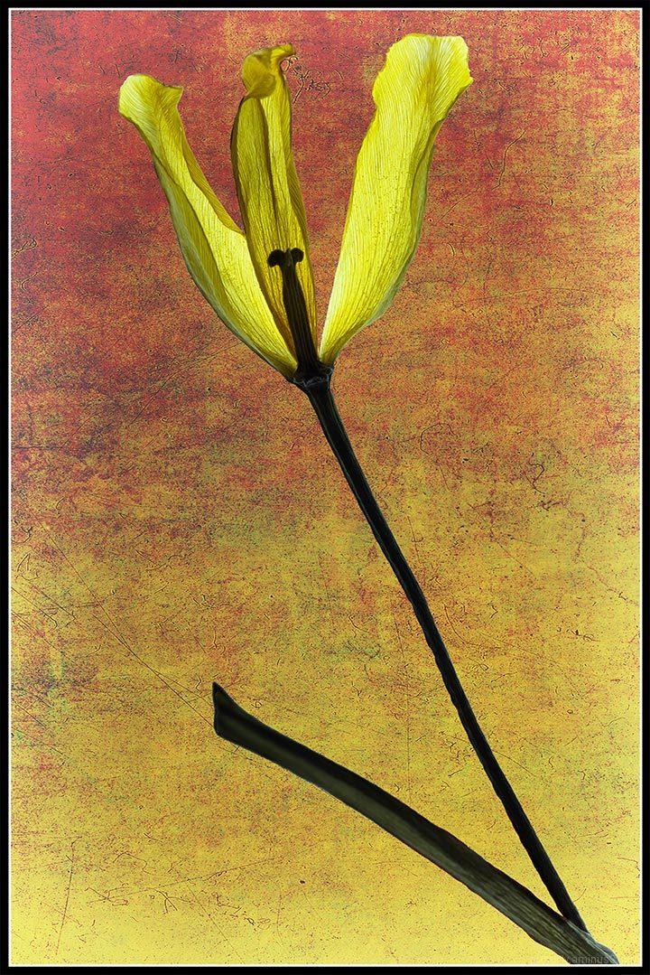 Dried Daffodil Petals