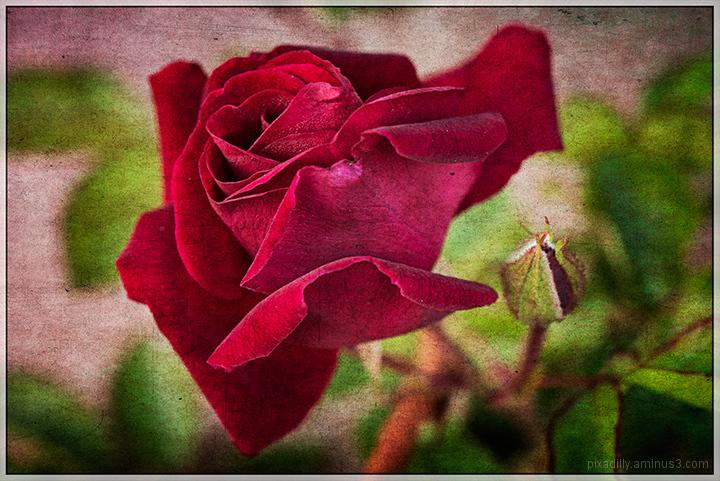 Flora:  Red Rose
