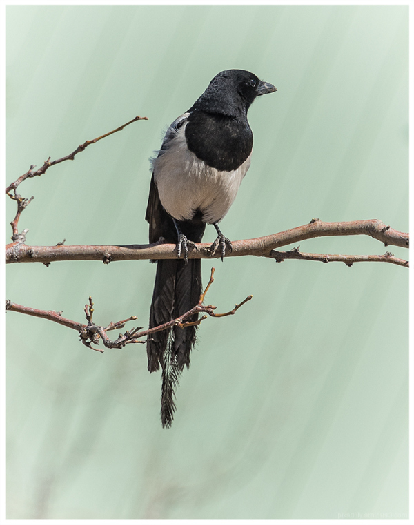 Fauna:  Magpie in March