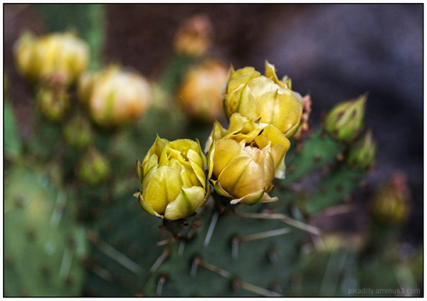 Flora:  Prickly Pear