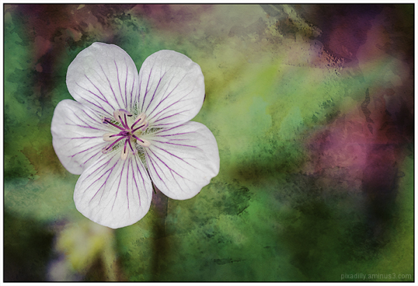 Flora:  Wild Geranium