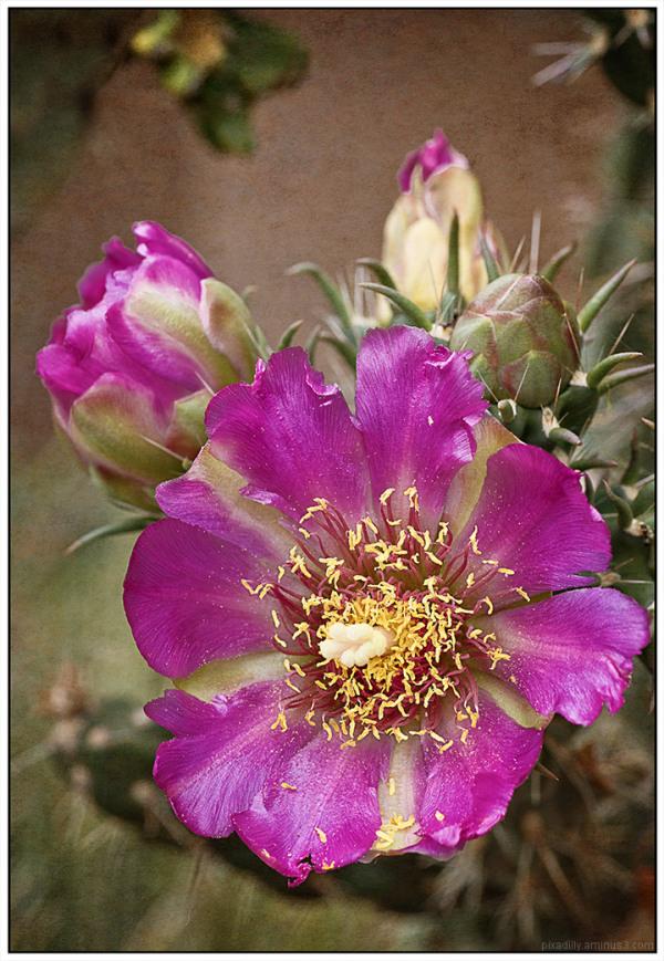Flora:  Cholla Cactus
