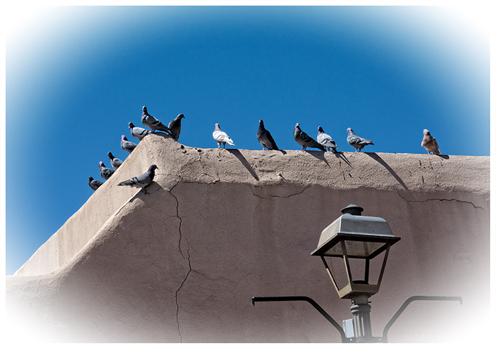 Perched Plaza Pigeons