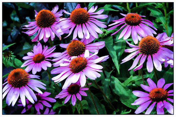 Lively Coneflowers