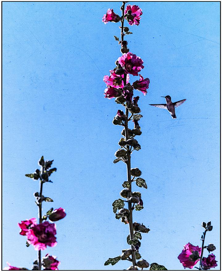 Hummingbird and Hollyhocks
