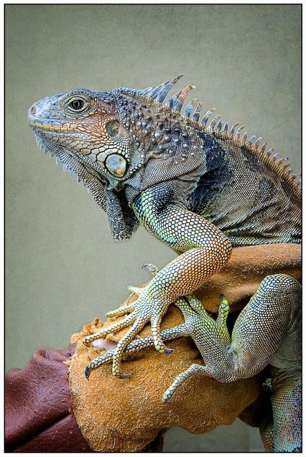 Cayman Iguana  ---   Reimagined