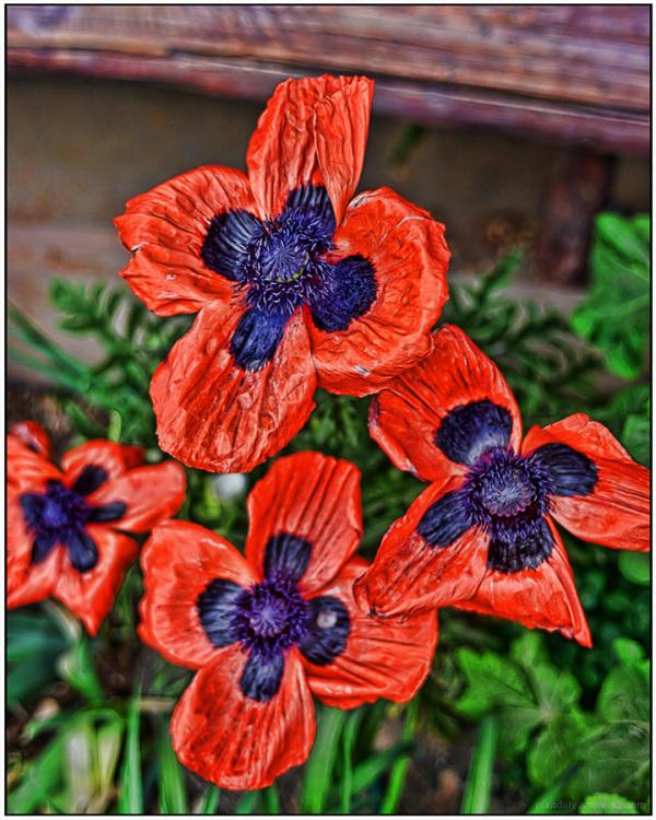 Flora:  Poppies
