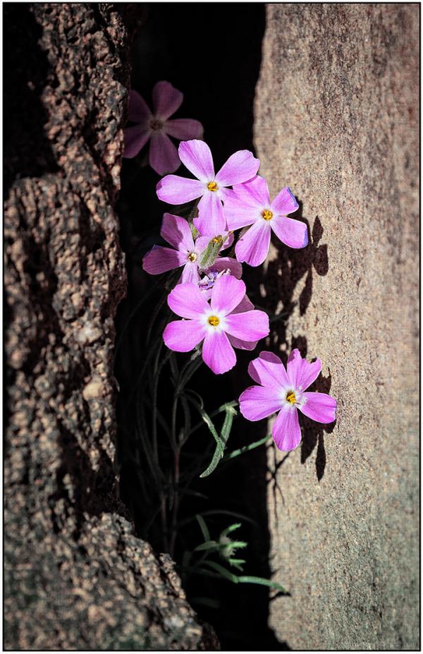 Flora:  Wild Geraniums ??