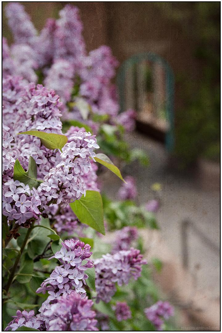 Flora:  Lilacs