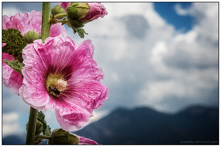 Hollyhock and Taos Mountain