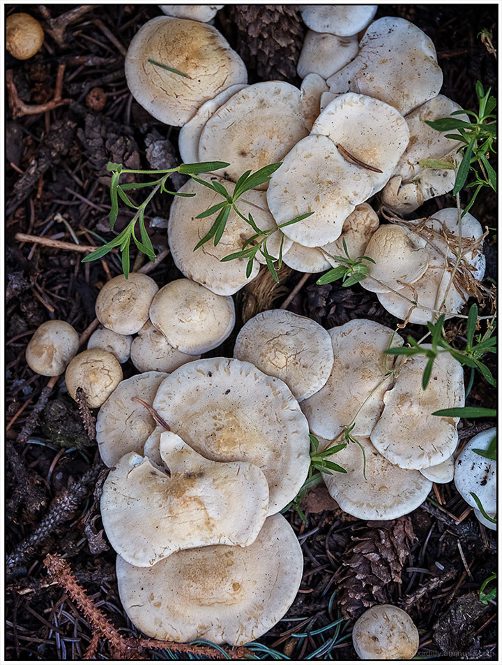 Many Creamy Mushrooms