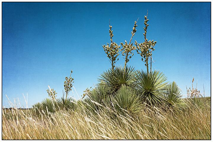 Roadside Yuccas