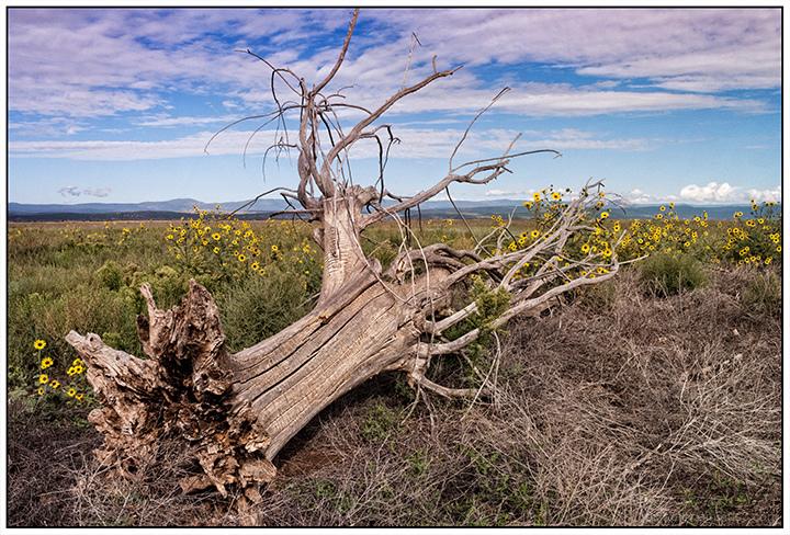 Fallen Treet