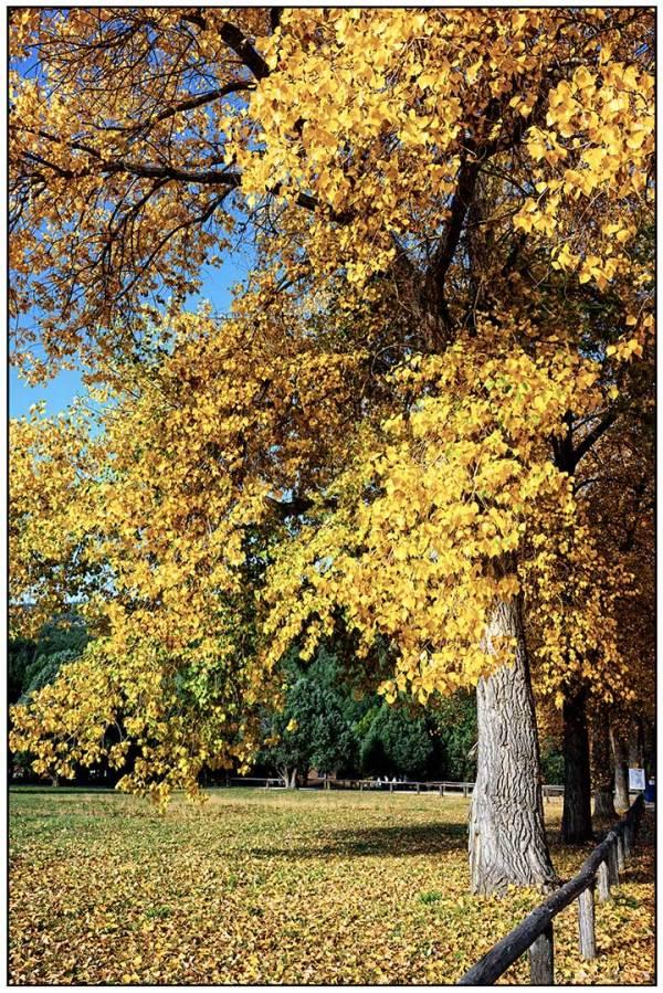 Cottonwood in Autumn