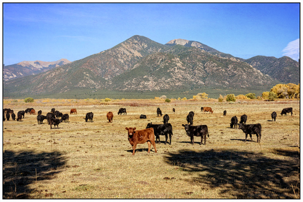 Cattle and Taos Mountain