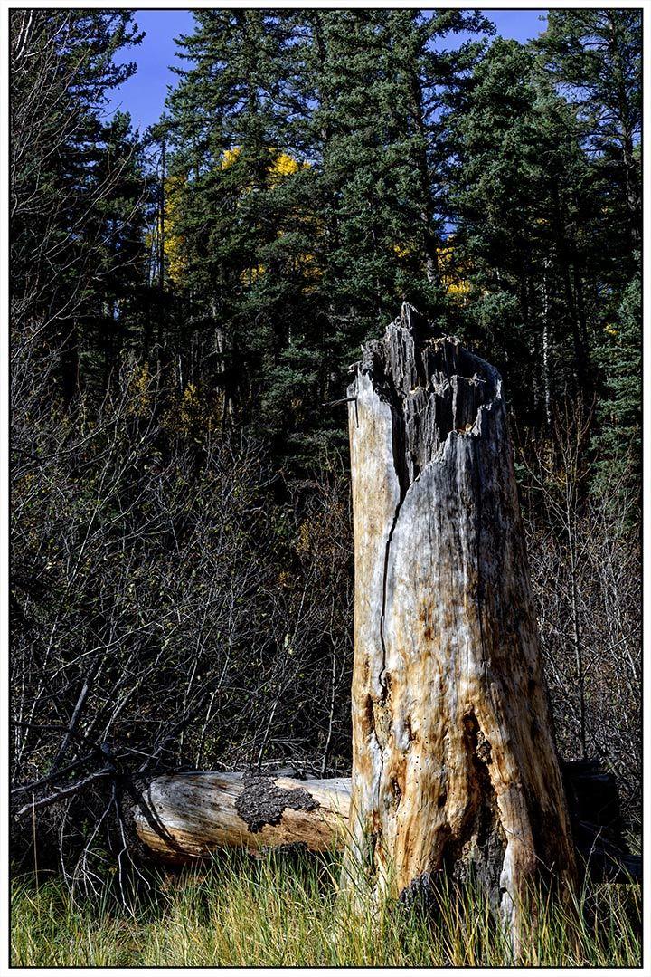 Forest Stump