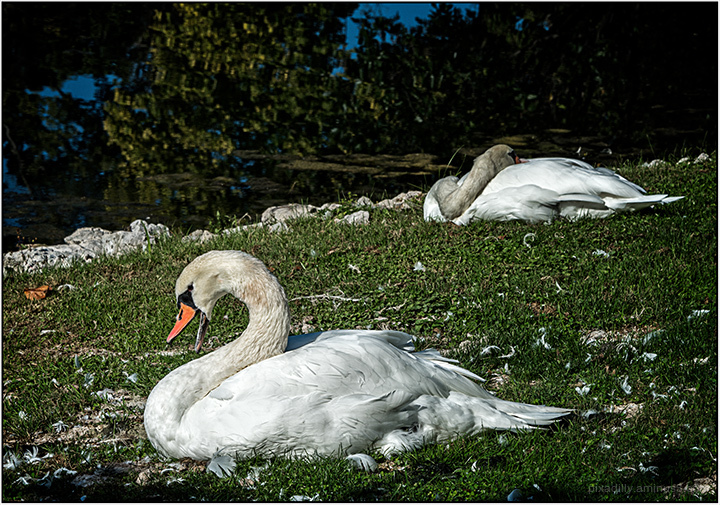 Real Swans
