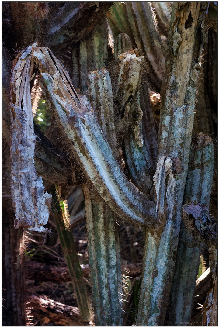 Old Cactus