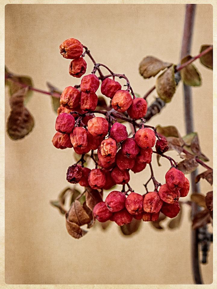 Late Winter Tree Berries