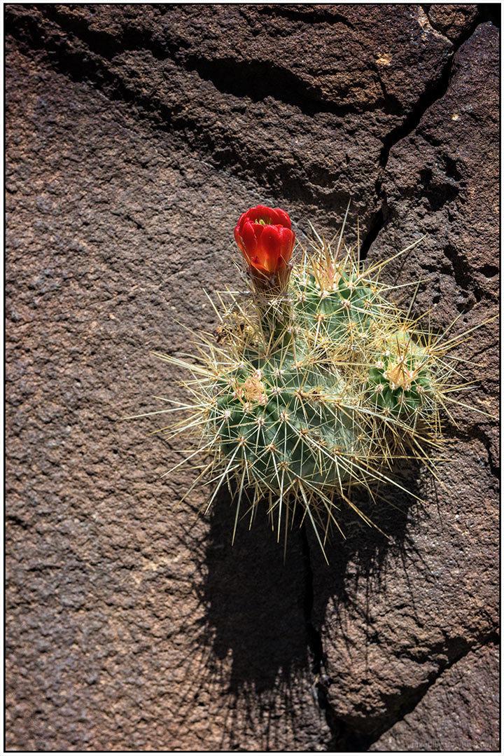 Claret Cactus