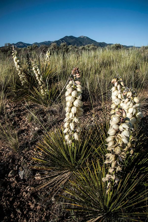 Yucca and Taos Mountain