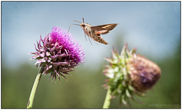 Hummingbird Moth and Thistles