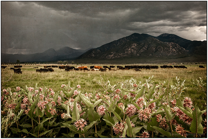Milkweed, Cattle and Taos Mountain