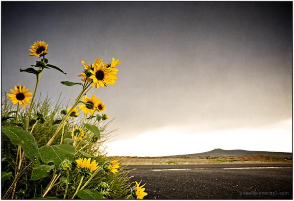 Roadside Sunflowers
