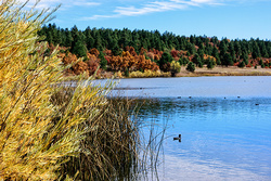 Ducks on Collins Lake