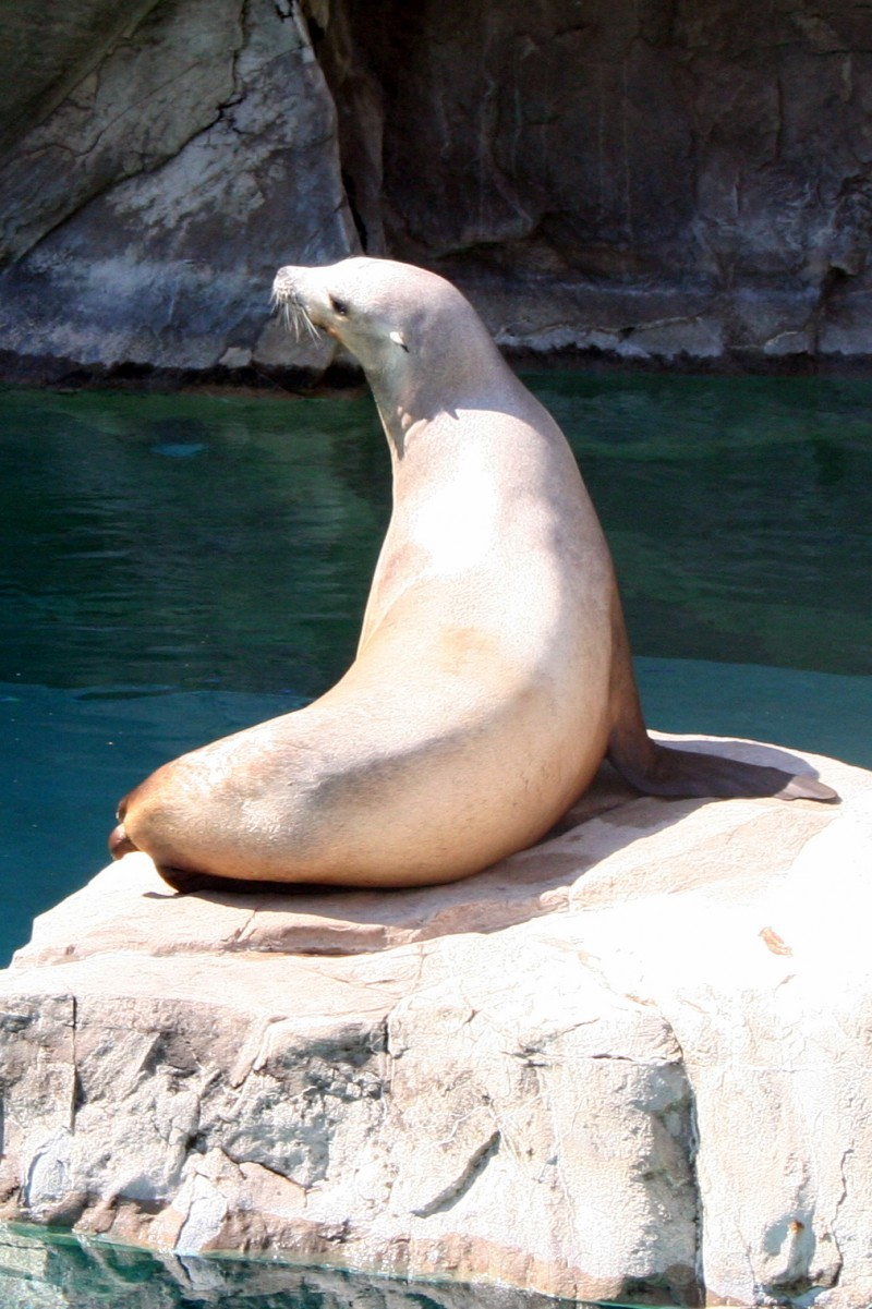 sea lion at the national zoo in dc