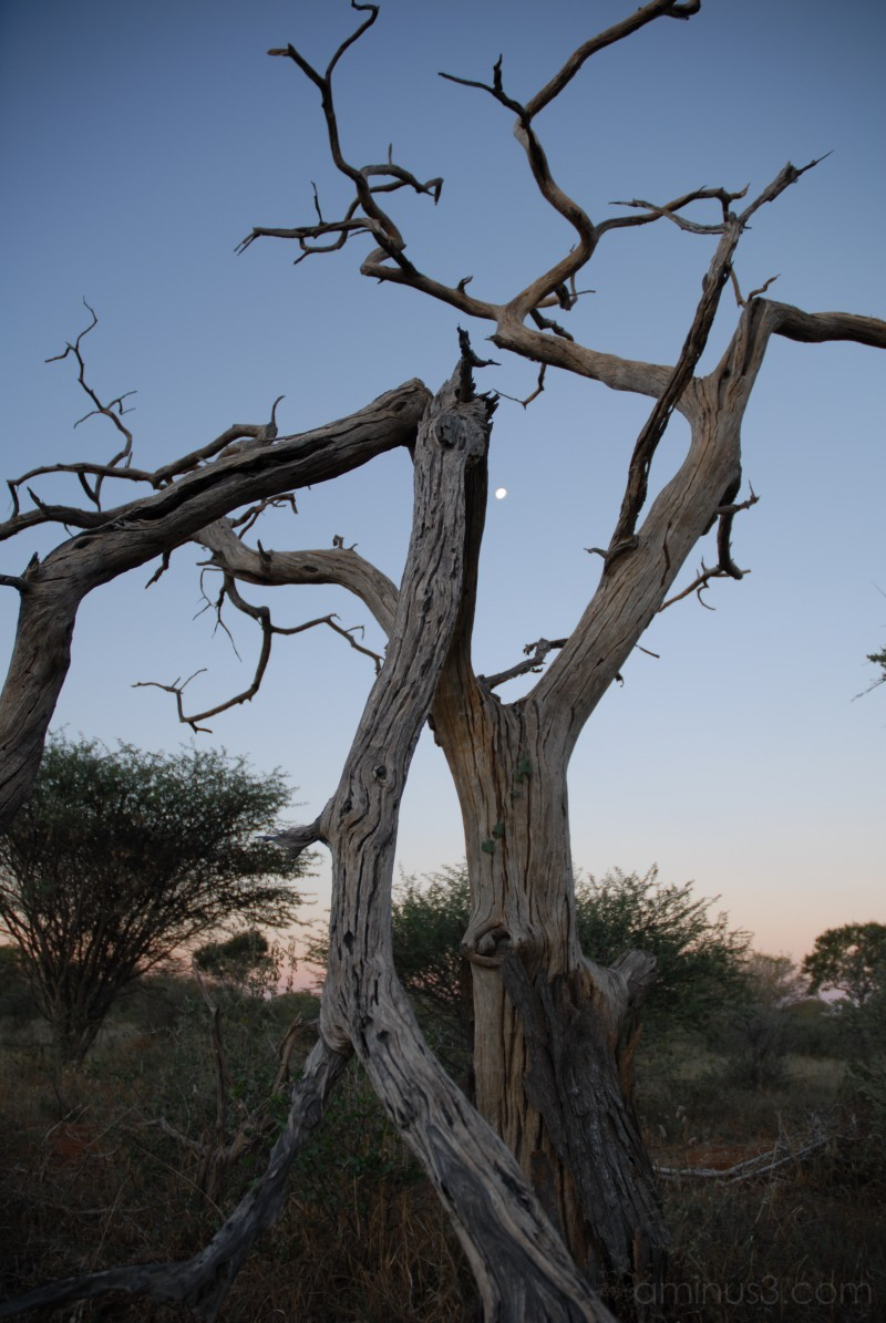 camelthorn tree moon