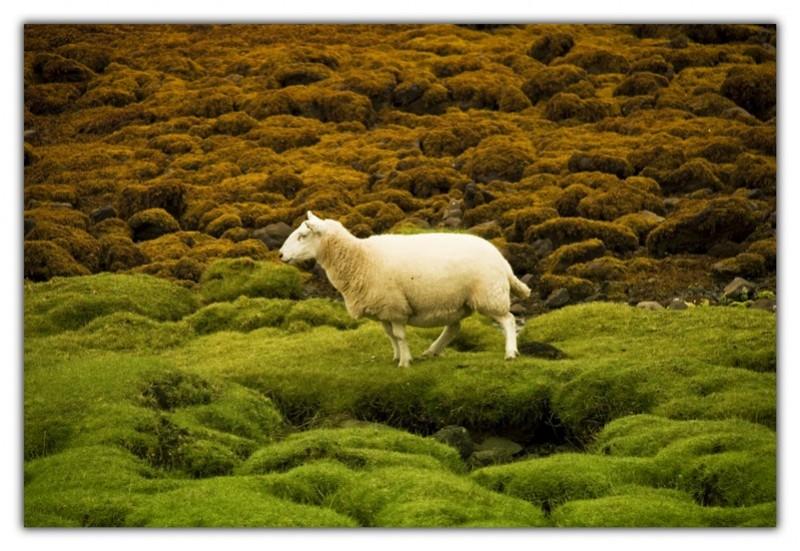 my sheep