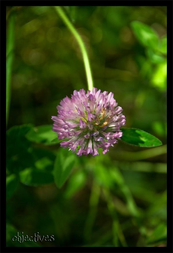 lila silvestre