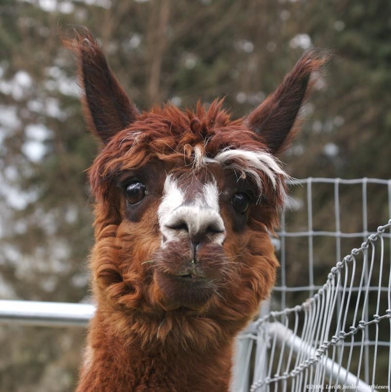 Allan-a-dale of Alpacas of Storybook Farm.