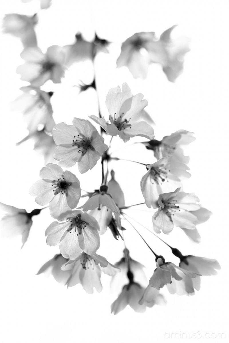 Sakura in black and white