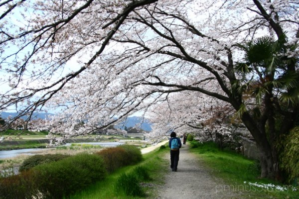 Cherry blossoms along Kamo river