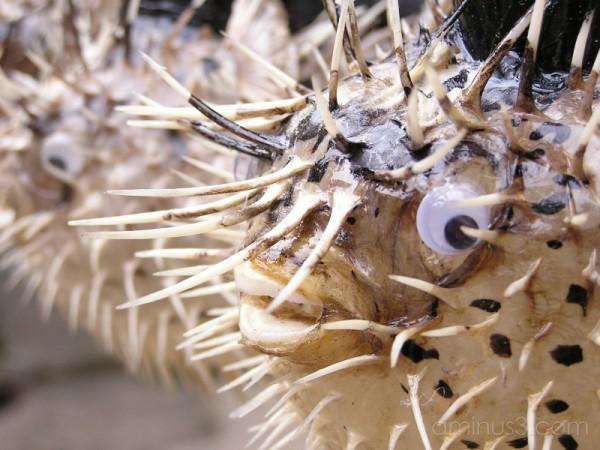 Porcupine fish