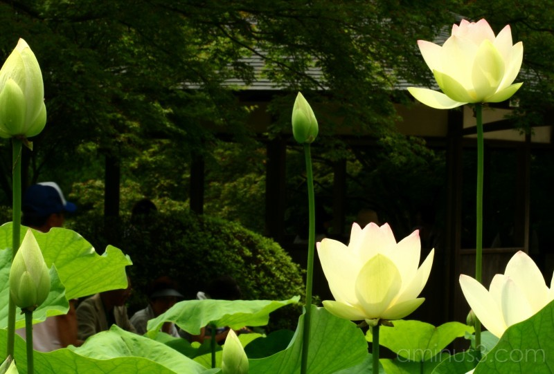 The lotus series - Standing tall
