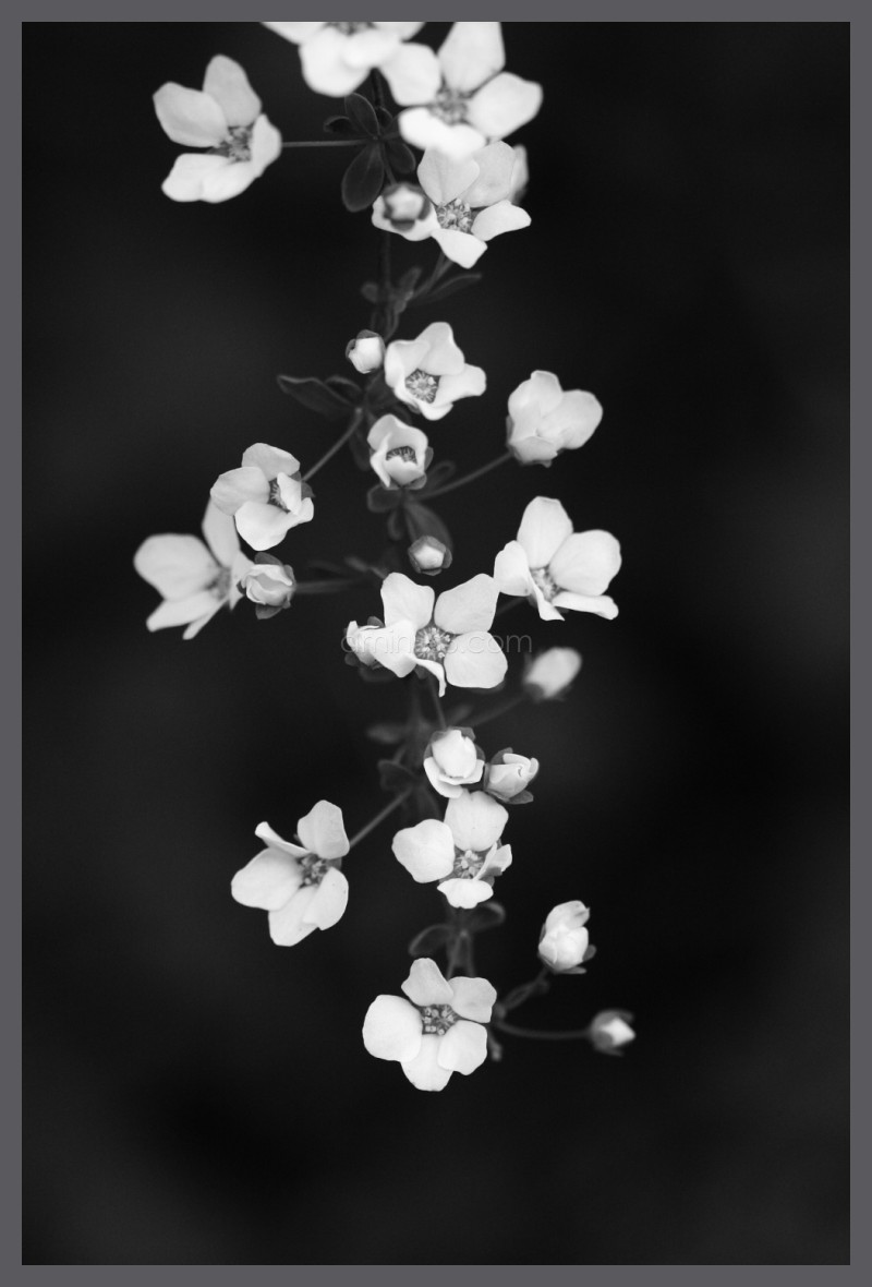 Yuki Yanagi Snow Willow